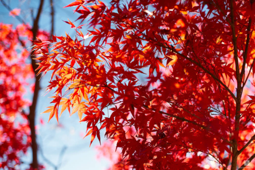 Japan, Momiji-gari, Wedding and Fashion Photographer in Italy Hanna Baranava